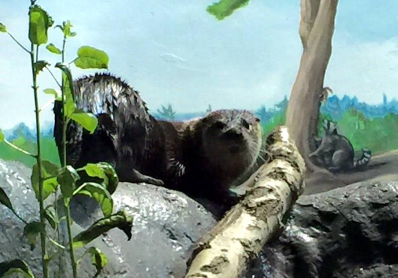 Brockville Aquatarium Otter Feb1216 Edited