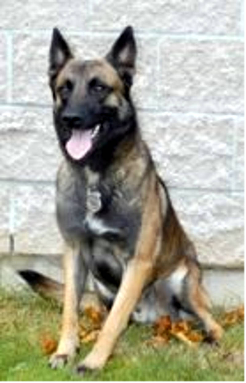 Brockville's former police dog, Trax, has died. The retired canine member of the force was 13. Flags are at half staff Oct. 14, 2015 in his honour. (Photo/BPS)