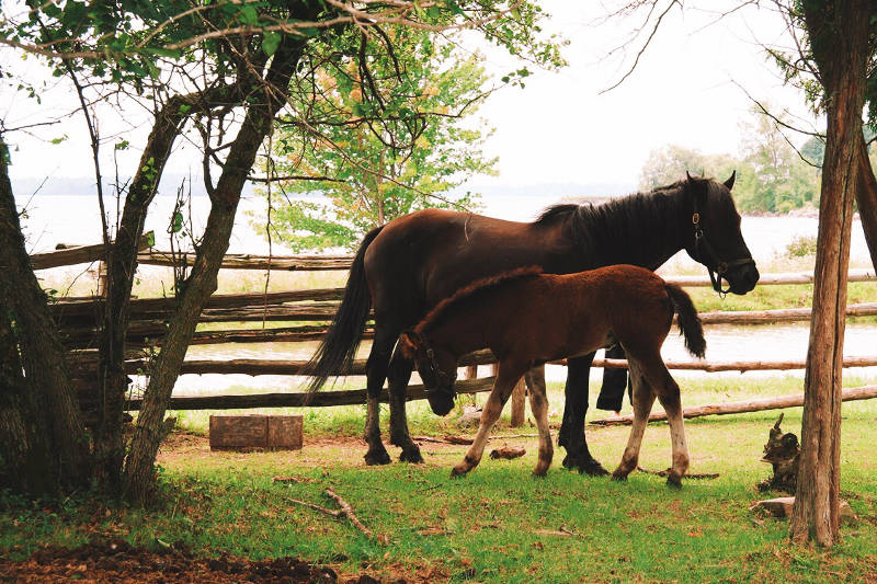 In this photo provided by the St. Lawrence Parks Commission, the second Canadian foal stands alongside his mother, Misty, at Upper Canada Village. UCV is holding a naming contest for the two colts born this year. (SPLC via Newswatch Group)